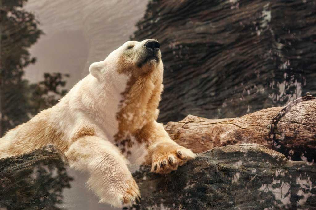 polar bear laying down on rock